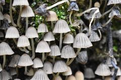 Mushrooms-a mysterious and still unexplored species of living organisms. Spores are egg-shaped, light color with a touch of ocher. Disputes are formed on royalty free stock photos