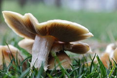 Mushrooms, nature Royalty Free Stock Photo