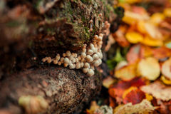 Mushrooms on an old tree stump close up Stock Image