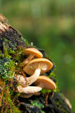 Mushrooms on an old tree trunk Royalty Free Stock Photography