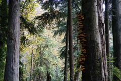 Free Mushrooms On Big Tree In Forest In Seattle Area Royalty Free Stock Images - 199963859