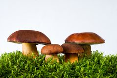Mushrooms On Moss Stock Images