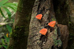 Mushrooms orange fungi cup  Cookeina sulcipes  on decay wood,. In the rain forest Royalty Free Stock Photos