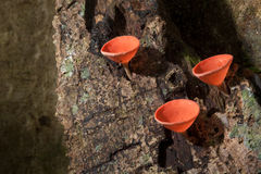 Mushrooms orange fungi cup  Cookeina sulcipes  on decay wood,. In the rain forest Royalty Free Stock Images
