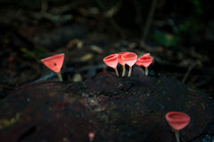 Mushrooms orange fungi cup  Cookeina sulcipes  on decay wood,. In the rain forest Stock Photography