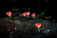 Mushrooms orange fungi cup  Cookeina sulcipes  on decay wood,. In the rain forest Stock Image