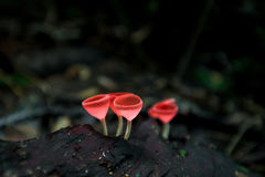 Mushrooms orange fungi cup  Cookeina sulcipes  on decay wood,. In the rain forest Stock Photos