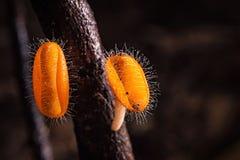 Mushrooms orange fungi cup. Stock Photos