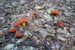 Mushrooms with orange hats and legs Royalty Free Stock Photography