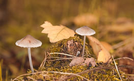 Mushrooms in pale leaf litter Royalty Free Stock Image