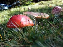 Mushrooms on the pastures and in the forests of the Churfirsten mountain range royalty free stock photo