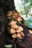 Mushrooms on a willow tree. Mushrooms, pholiota species, growing on a willow tree stock photos