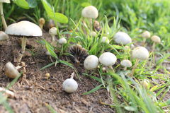 Mushrooms. Photo of some white mushrooms in the green mountain Royalty Free Stock Image