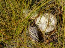 Mushrooms and A Pinecone. Two wild mushrooms and a pine cone lying on the ground under grasses growing in a Florida woodland stock image