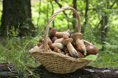 Mushrooms porcini  in the wicker basket on the green grass. Stock Photos