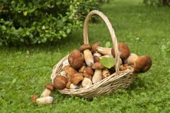 Mushrooms porcini  in the wicker basket on the green grass. Royalty Free Stock Images