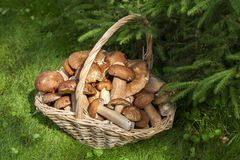 Mushrooms porcini  in the wicker basket on the green grass. Stock Photo