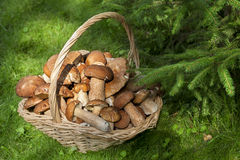 Mushrooms porcini  in the wicker basket on the green grass. Royalty Free Stock Photo