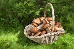 Mushrooms porcini in the wicker basket on the green grass. Wicker basket with mushrooms. Mushrooms porcini. Mushrooms porcini in the forest royalty free stock photography