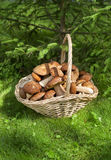 Mushrooms porcini  in the wicker basket on the green grass. Royalty Free Stock Photos