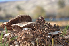 Mushrooms by the River. Close up of mushrooms growing through mulch in the Oregon high desert next to the Deschutes River Royalty Free Stock Images