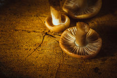 Mushrooms russula close up on a stump.  Royalty Free Stock Images