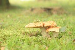 Mushrooms Russula Royalty Free Stock Photo
