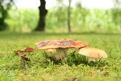 Mushrooms Russula. On green grass (family Russulaceae Stock Photo