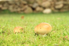 Mushrooms Russula Stock Image