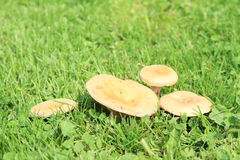 Mushrooms - Saffron milk cap Royalty Free Stock Images