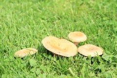 Mushrooms - Saffron milk cap Royalty Free Stock Images