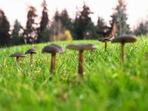 Mushrooms, shallow DOF. A close-up view of mushrooms growing in a field of cut grass with a shallow depth of field stock image