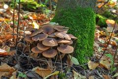 Mushrooms shimeji brown forest varieties. Royalty Free Stock Photo