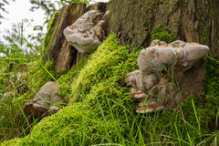Mushrooms on side of tree stump Stock Photos