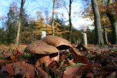 Mushrooms. Sitting in a forest royalty free stock image