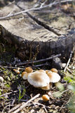 Mushrooms. Small mushrooms at the foot of a tree Royalty Free Stock Images