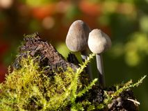 Mushrooms. Small mushrooms on wood with moss Royalty Free Stock Images