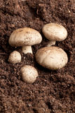 Mushrooms in soil Stock Photography
