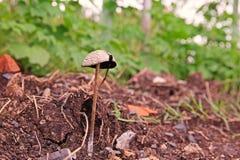 Mushrooms. Spore-bearing fruiting body of a fungus, basidiomycetes fungi Stock Photography
