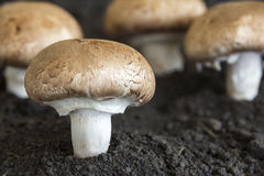 Mushrooms sprout through the soil. On blurred background Stock Photos