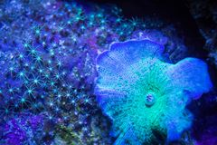 Mushrooms and Star Polyp Coral. Green mushroom and star polyp corals living together on the reef Royalty Free Stock Photography