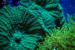 Mushrooms and Star Polyp Coral. Green mushroom and star polyp corals living together on the reef Stock Image
