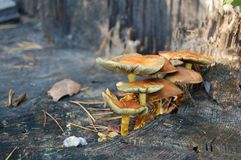 Mushrooms on stump Stock Image