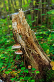 mushrooms on the stump Stock Photos