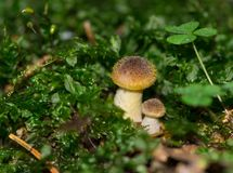 Honey fungus on a stump. Mushrooms on a stump in the autumn forest Royalty Free Stock Images