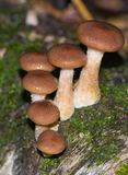 Honey fungus on a stump. Mushrooms on a stump in the autumn forest Stock Images