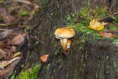 Mushrooms and stump Stock Photography