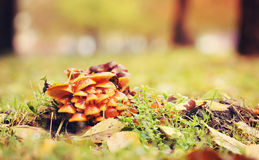 Mushrooms at a stump in the city park Royalty Free Stock Photo