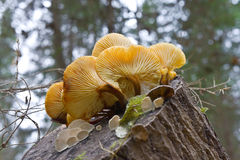 Mushrooms on a stump Stock Photography