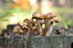 Mushrooms on a stump Royalty Free Stock Image